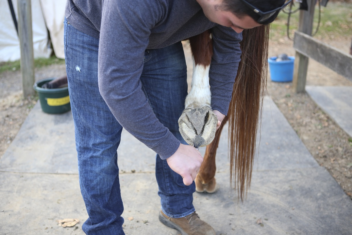 The Northern Virginia Therapeutic Riding Program has more than 200 volunteers on its roster. Volunteers perform duties like combing horses and cleaning hooves, as Fierro does here. Volunteers make the program work, employees say. (Andrea Scott/Staff)