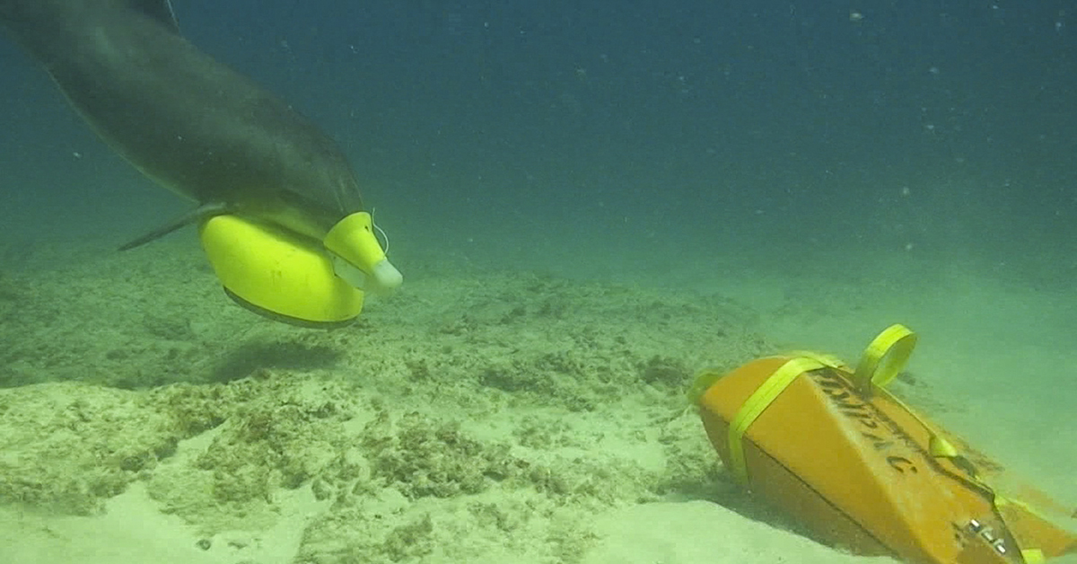 A bottlenose dolphin in the U.S. Navy Marine Mammal Program (NMMP), part of the MK 7 Marine Mammal System, places a marking device in the vicinity of an exercise sea mine in Southern California during the 2018 Rim of the Pacific (RIMPAC) exercise, July 18, 2018. (U.S. Navy photo)