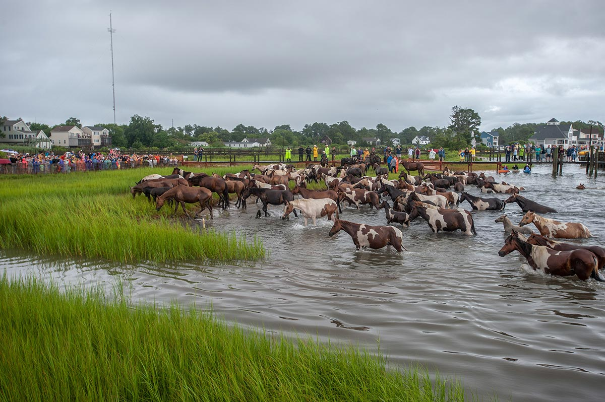 Chincoteague, Va. (July 25, 2018) Safe and sound, the ponies arive on Chincoteage Island after a 200-yard swim from Assateague island. (photo by Joan Zopf-Faram/special)