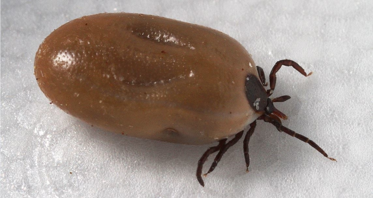 Engorged with a host blood meal, this female blacklegged deer tick, Ixodes scapularis, can transmit Lyme disease, which is caused by a spiral shaped bacterial microbe, Borrelia burgdorferi. In its larval stage of development, this tick is no bigger than the size of a period at the end of this sentence. (Centers for Disease Control and Prevention)