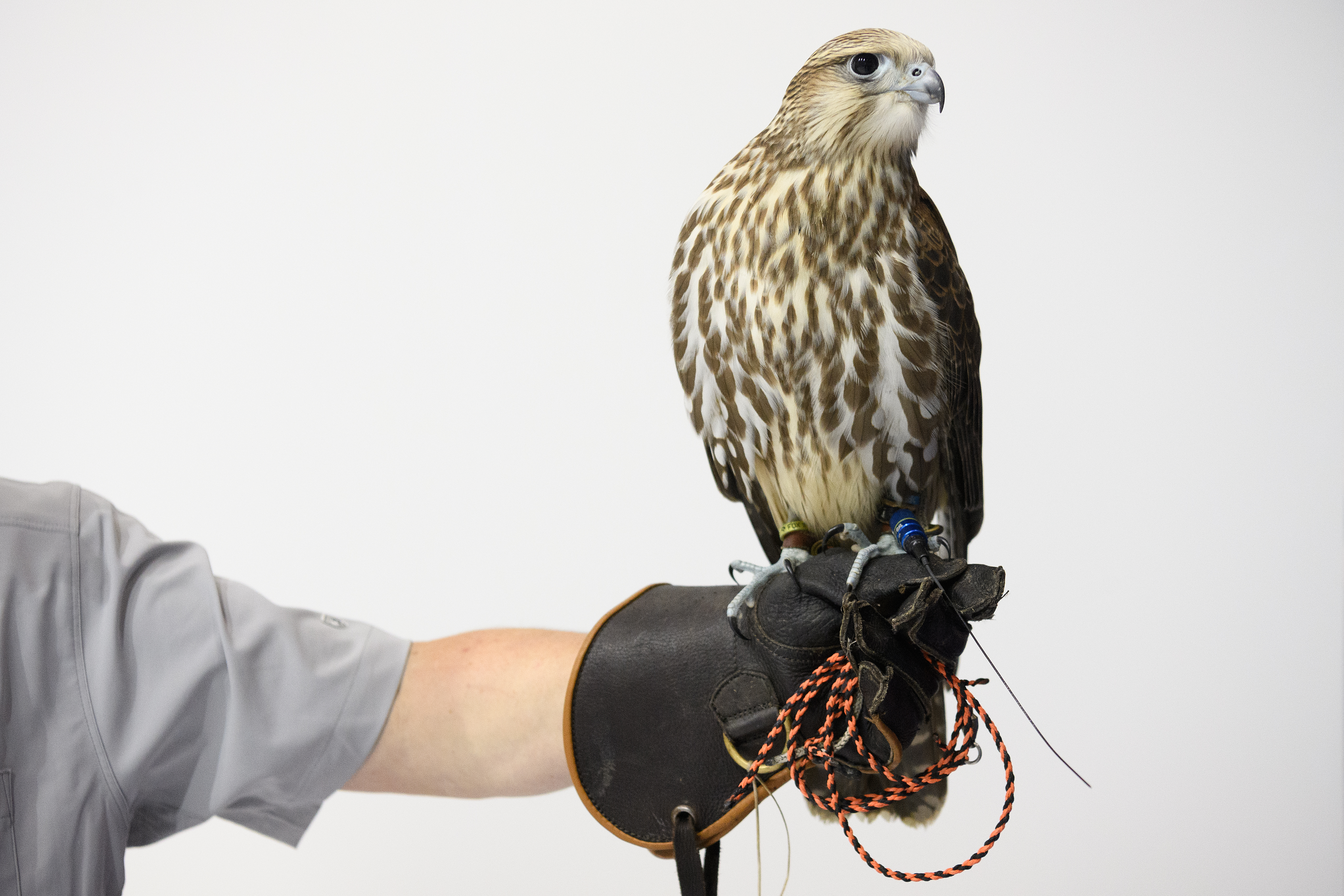 Another sight to see at the DSEI arms fair was a New Zealand crossbred falcon wearing a Marshall Radio Telemetry GPS device. (Leon Neal/Getty Images)