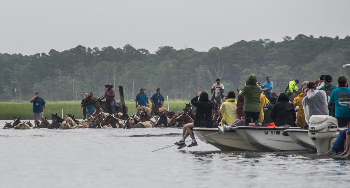 Chincoteague, Va. (July 25, 2018) The start of the Chincoteague annual pony swim as the ponies enter the water at Assageague (photo by Mark D. Faram/Navy Times)