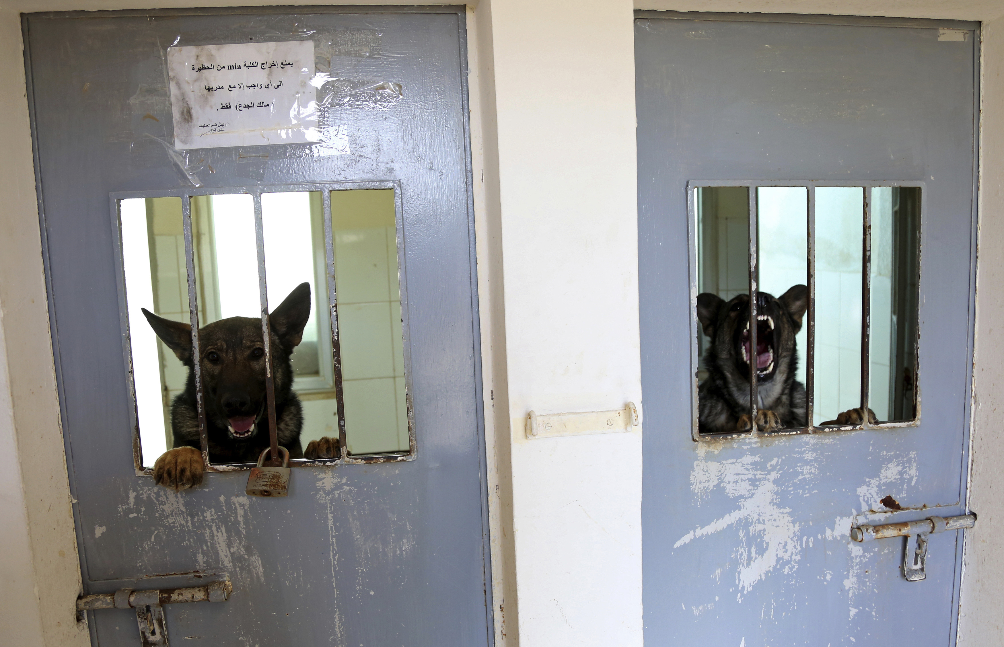 Two dogs from the K-9 unit of Jordan's police look through the bars of their kennels March 19, 2018. The U.S. State Department's Anti-Terrorism Assistance Program has trained 39 dog-handler teams and embedded two mentors with the program in Jordan. (Raad Adayleh/AP)