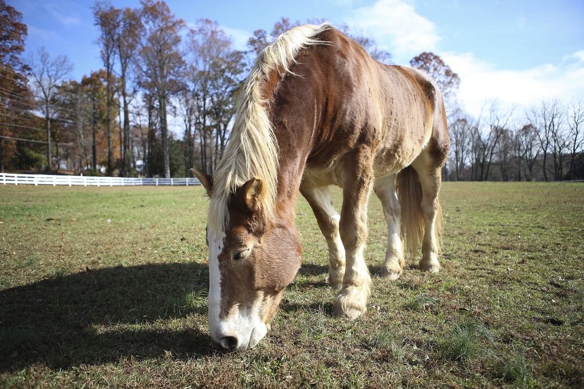 As one of the most gentle and sweet horses on the farm, Lizzy is a star at the Northern Virginia Therapeutic Riding Program in Clifton, Virginia, even though she just moved here in 2017. Her larger Haflinger/draft frame makes her an ideal horse for military riders. (Andrea Scott/Staff)
